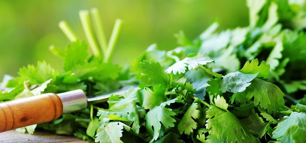 Lợi ích sức khỏe của rau mùi